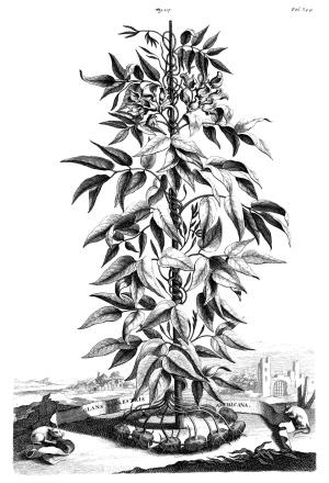Munting, Abraham. Phytographie curiosa… Amsterdam et Leyde, Figure 107. Bibliothèque numérique du Jardin botanique de Madrid.
